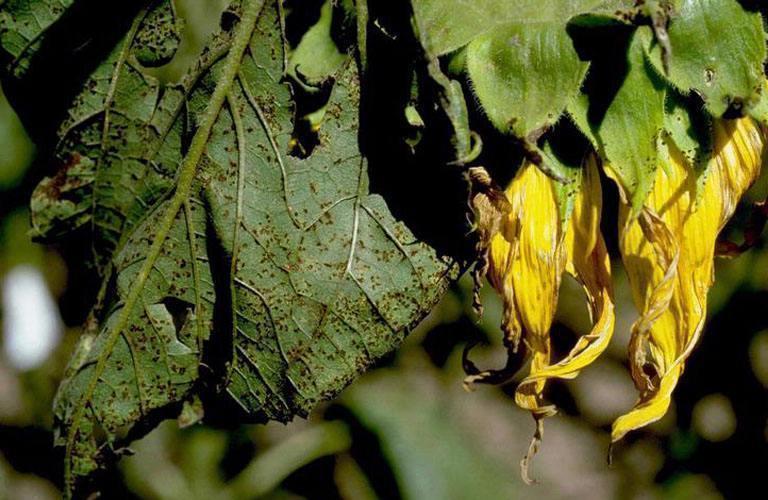 rugina-florii-soarelui-1