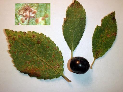 Tranzschelia pruni-spinosae sur Prunus spinosa
