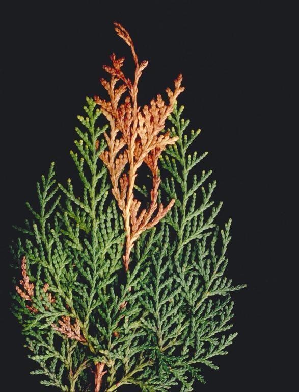 uscarea plantelor tuia