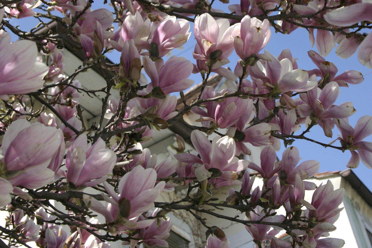 magnolia scădere în greutate