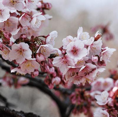 Cires japonez