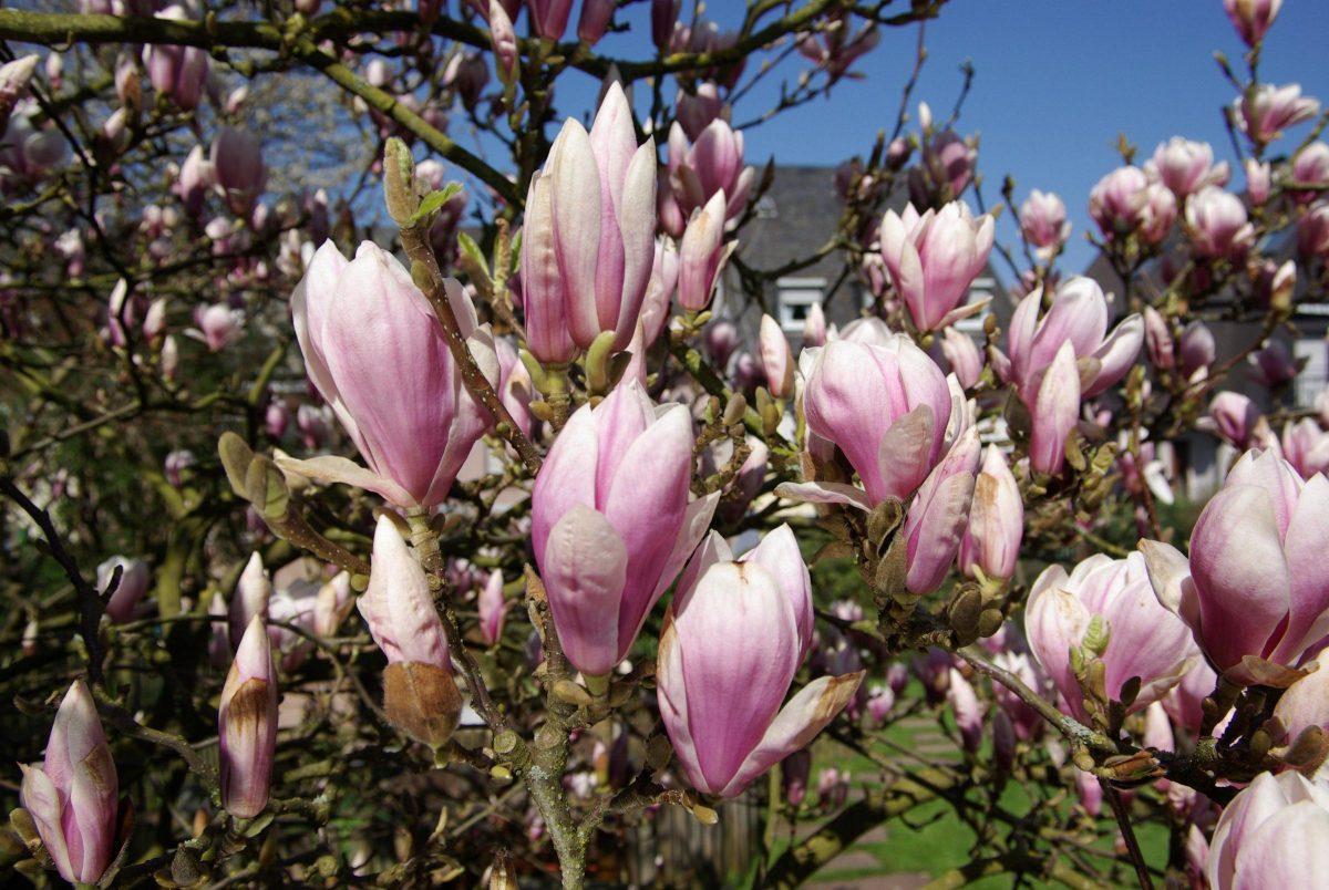 magnolia conditii de crestere si inmultire blog botanistii. Black Bedroom Furniture Sets. Home Design Ideas