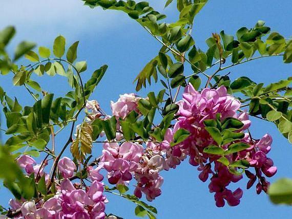 salcam rosu flori