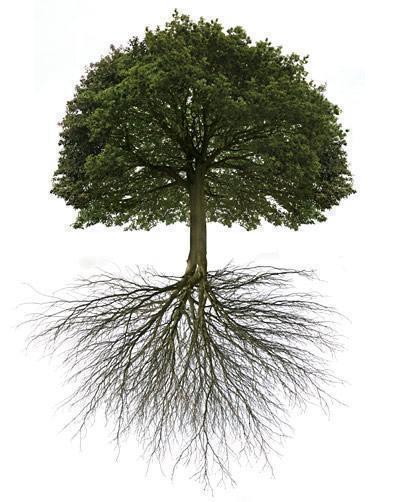 radacina copac
