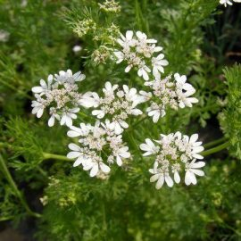 Aromatice si condimentare coriandru - Comunitatea Botanistii