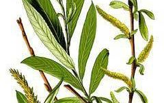 Decorative de exterior salcia - Comunitatea Botanistii