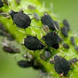 Insecte daunatoare afide - Comunitatea Botanistii