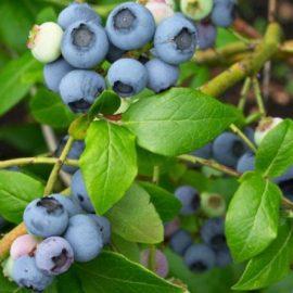 Arbusti afine - Comunitatea Botanistii