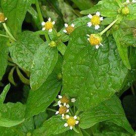 Buruieni Dicotiledonate busuioc salbatic - Comunitatea Botanistii
