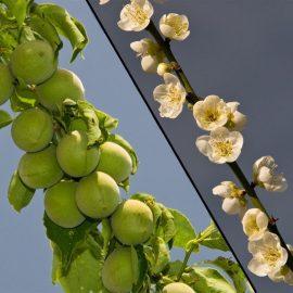 Pomi fructiferi cais - Comunitatea Botanistii