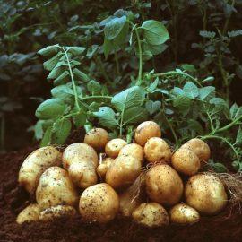 Legume cartof - Comunitatea Botanistii