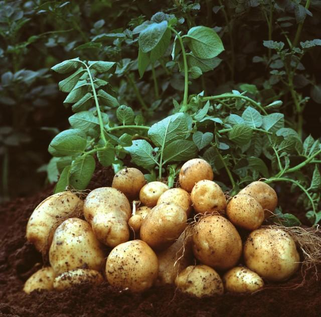 Cartof - Tabel tratamente, combatere boli si daunatori | Botanistii