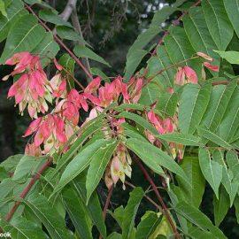 Decorative de exterior cenusar - Comunitatea Botanistii