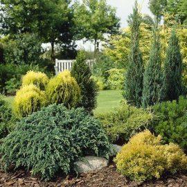 Decorative de exterior arbori si arbusti coniferi - Comunitatea Botanistii