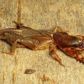 Insecte daunatoare coropisnite - Comunitatea Botanistii