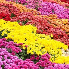 Flori de gradina crizanteme - Comunitatea Botanistii