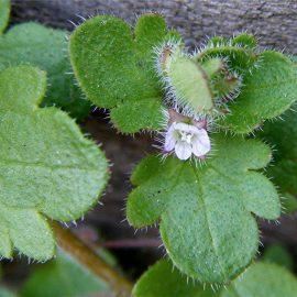 Buruieni Dicotiledonate doritoare - Comunitatea Botanistii