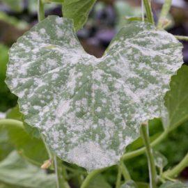 Bolile plantelor fainare - Comunitatea Botanistii