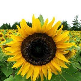 Plante tehnice floarea soarelui - Comunitatea Botanistii