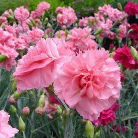 Flori de gradina garoafe - Comunitatea Botanistii