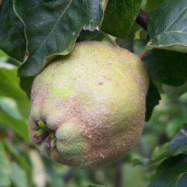 Pomi fructiferi gutui - Comunitatea Botanistii
