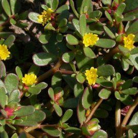 Buruieni Dicotiledonate iarba grasa - Comunitatea Botanistii