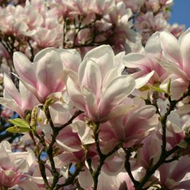 Decorative de exterior magnolia - Comunitatea Botanistii