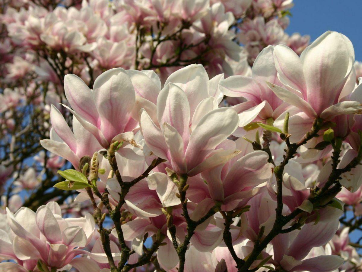 Scăderea în greutate a scoarței de magnolie