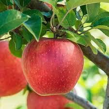 Pomi fructiferi mar - Comunitatea Botanistii