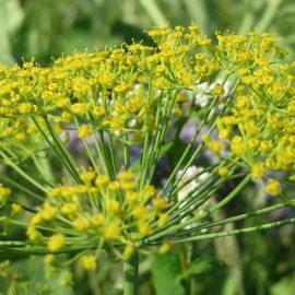 Aromatice si condimentare mararul - Comunitatea Botanistii