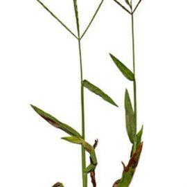 Buruieni Monocotiledonate meisor - Comunitatea Botanistii