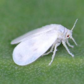 Insecte daunatoare musculita alba - Comunitatea Botanistii