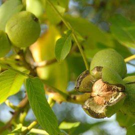 Pomi fructiferi nuc - Comunitatea Botanistii