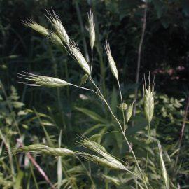 Buruieni Monocotiledonate obsiga secarii - Comunitatea Botanistii