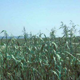Buruieni Monocotiledonate odos - Comunitatea Botanistii