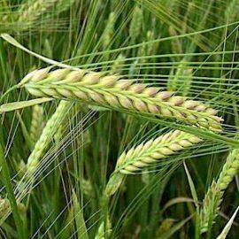 Cereale orz - Comunitatea Botanistii