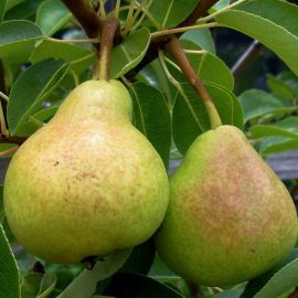 Pomi fructiferi par - Comunitatea Botanistii
