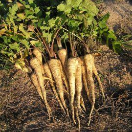 Legume pastarnac - Comunitatea Botanistii