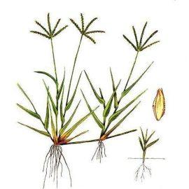 Buruieni Monocotiledonate pirul gros - Comunitatea Botanistii