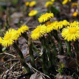 Buruieni Dicotiledonate podbal - Comunitatea Botanistii