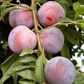 Pomi fructiferi prun - Comunitatea Botanistii