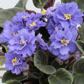 Decorative de interior violeta de parma - Comunitatea Botanistii