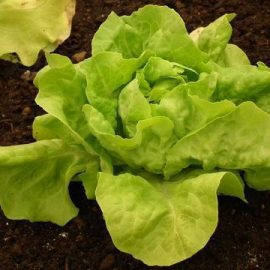 Legume salata verde - Comunitatea Botanistii