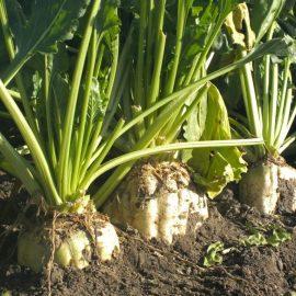 Plante tehnice sfecla de zahar - Comunitatea Botanistii