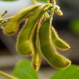 Plante tehnice soia - Comunitatea Botanistii