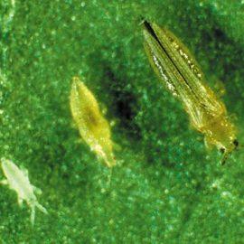 Insecte daunatoare trips - Comunitatea Botanistii