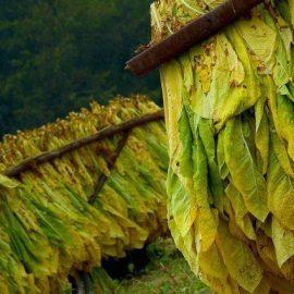 Plante tehnice tutun, tabac - Comunitatea Botanistii