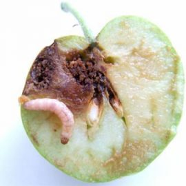 Insecte daunatoare viermii fructelor - Comunitatea Botanistii