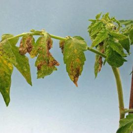 Bolile plantelor viroze - Comunitatea Botanistii