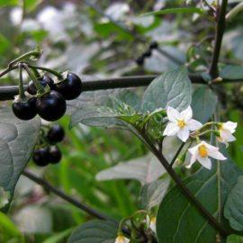 Buruieni Dicotiledonate zarna - Comunitatea Botanistii